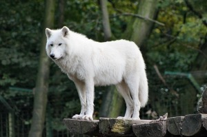 White wolves can control their shifting from the start, unlike grey wolves who need sexual intimacy to develop that same control