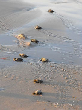 Baby sea turtles heading for the ocean - while Sellers's Johari turtles making a noctural journey, the little cuties would undoubtedly look a lot like these babies. (Public doman image via Pixabay)