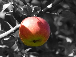 Charlotte's shot of an apple to Freddy's head is like the blooming of color in a life he covered with frost. (Public domain image via Pixabay)
